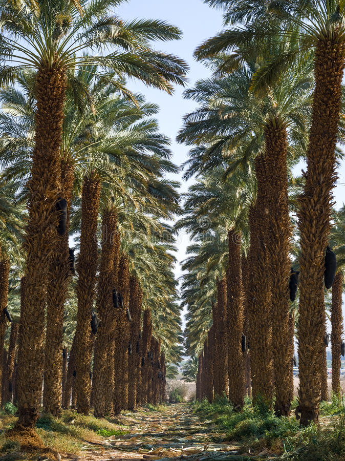 Download Plantation of date palms stock image. Image of green - 27469047