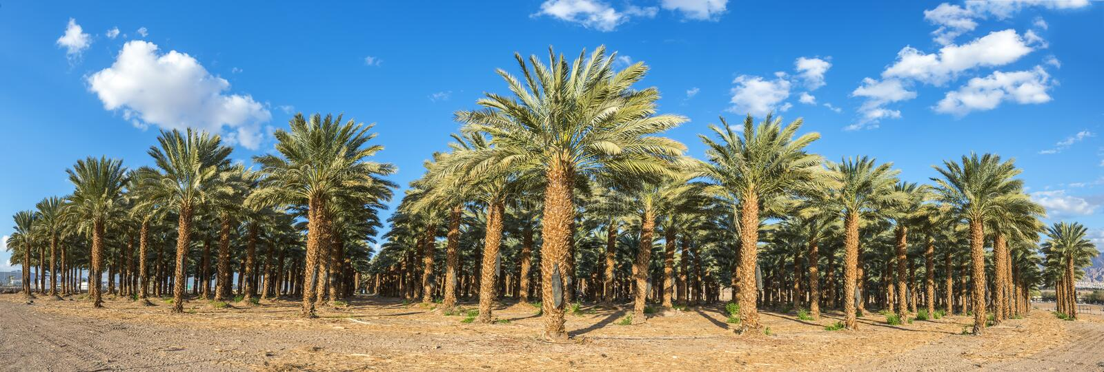 Plantation of date palms. Date palms have an important place in advanced desert agriculture in the Middle East royalty free stock images