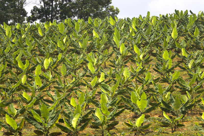 Plantation de banane   photographie stock libre de droits