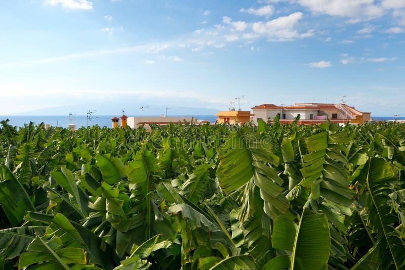Plantation de banane - Ténérife photos libres de droits