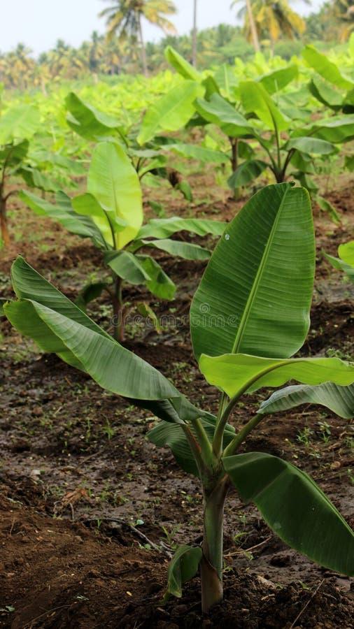 Plantation de bananier photographie stock libre de droits