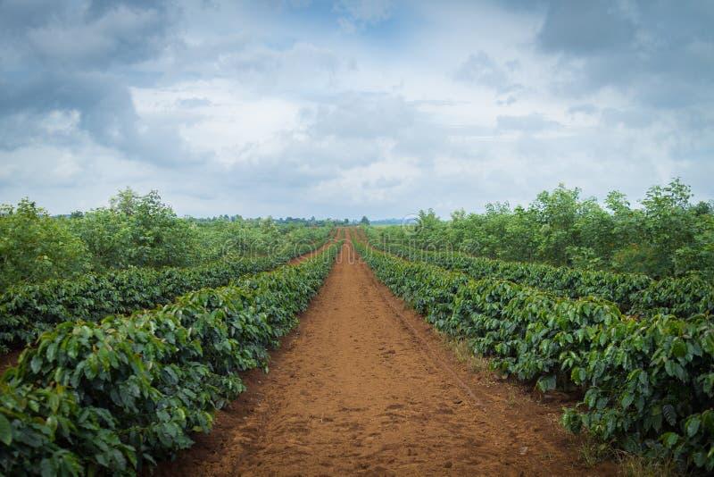 Plantation de café images libres de droits