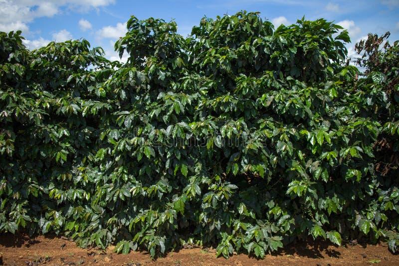 Plantation de café photo stock