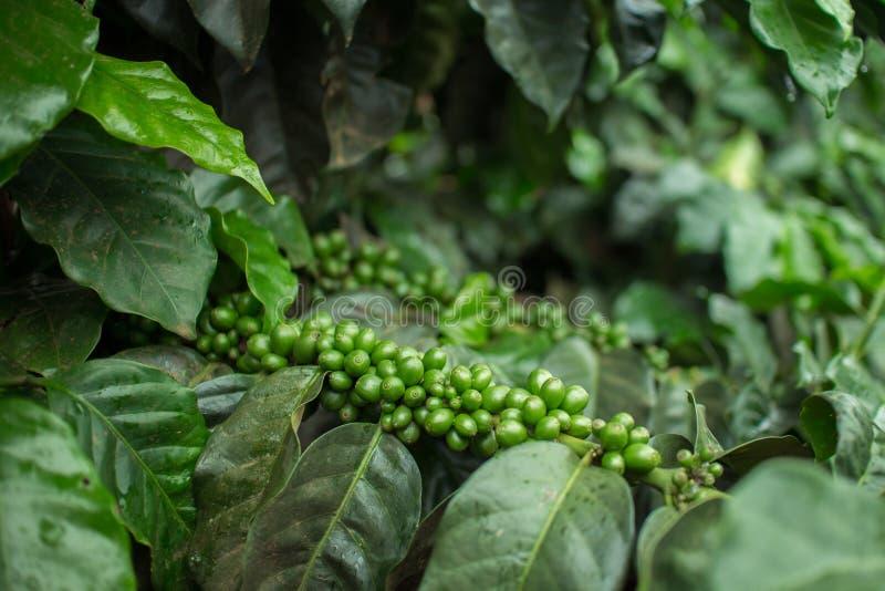 Plantation de café photo libre de droits