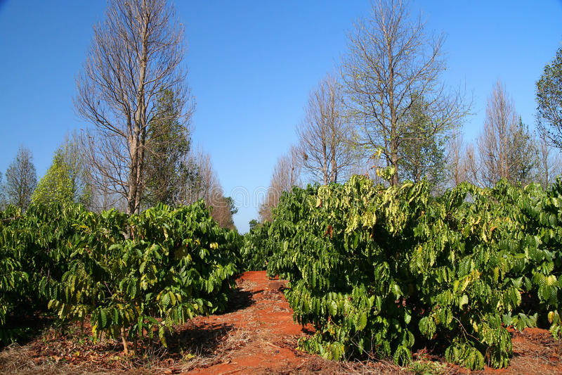 plantation de café photographie stock