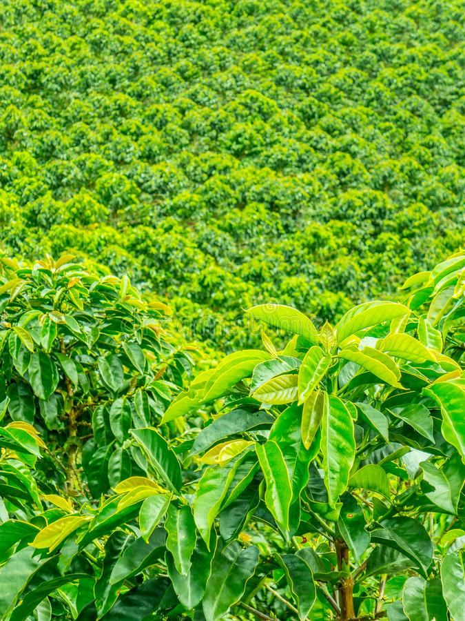 Plantation de café dans Jerico, Colombie image libre de droits