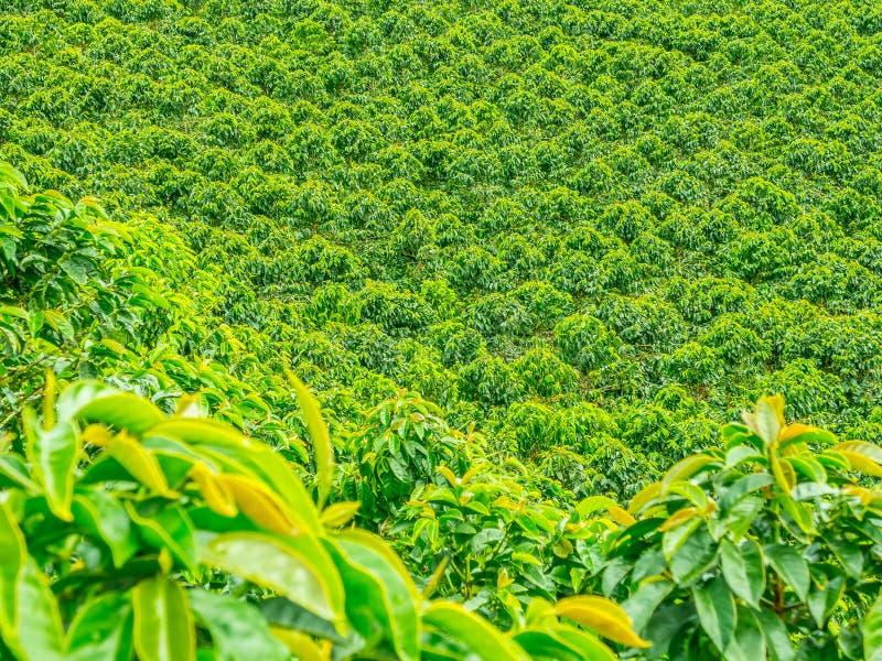 Plantation de café dans Jerico, Colombie image stock