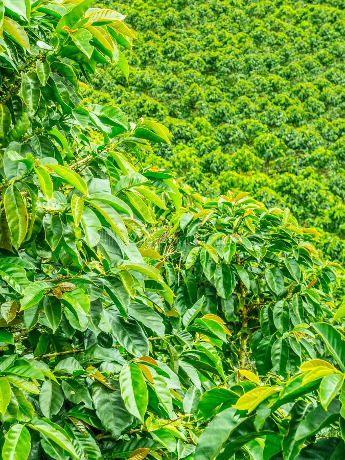 Plantation de café dans Jerico, Colombie images libres de droits