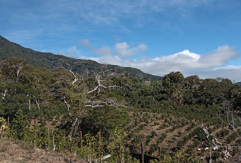 Plantation de café dans la montagne chez Boquete Panama photo libre de droits