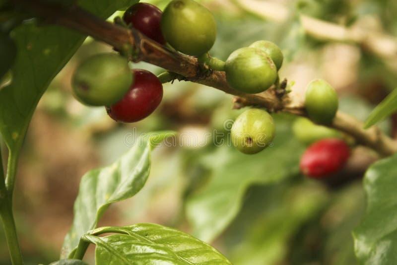 Plantation de café dans les vallées andines images libres de droits