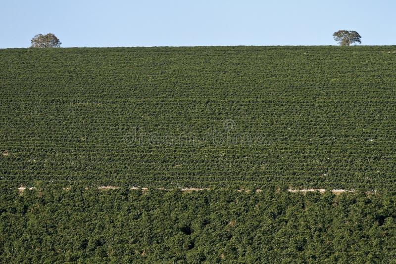 Plantation de café de ferme au Brésil photos stock