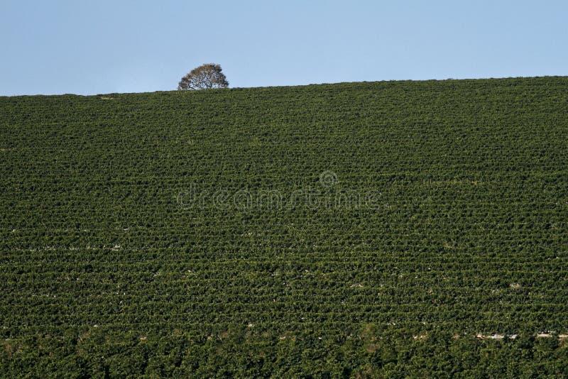 Plantation de café de ferme au Brésil photo stock