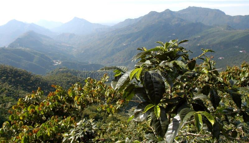 Plantation de café Guatemala image libre de droits