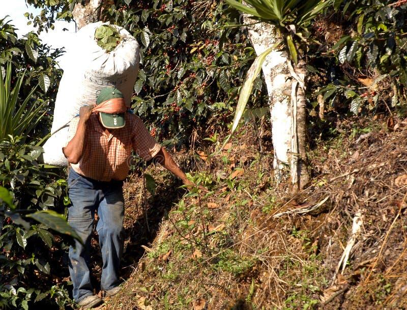 Plantation de café Guatemala image stock