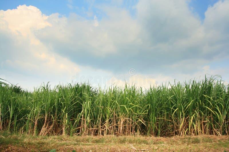 Plantation de canne à sucre images stock
