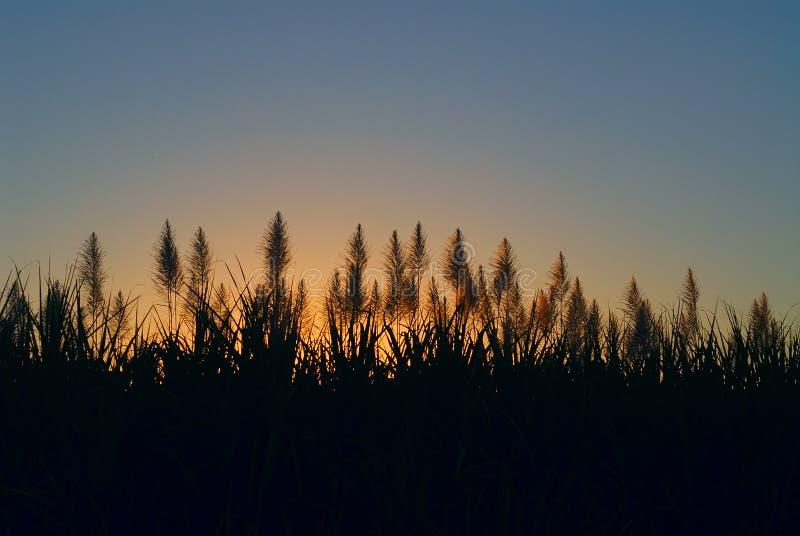 Plantation de canne à sucre photo stock