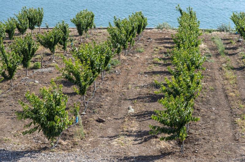 Plantation de cerise près de l'eau photographie stock libre de droits