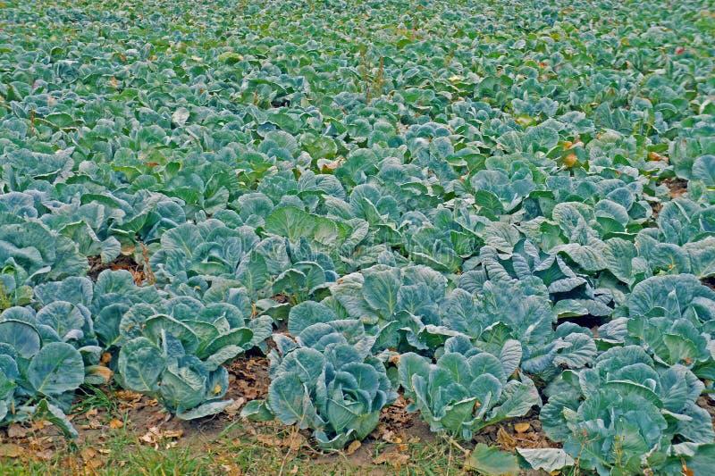 Download Plantation de chou image stock. Image du lapin, frais - 45354185