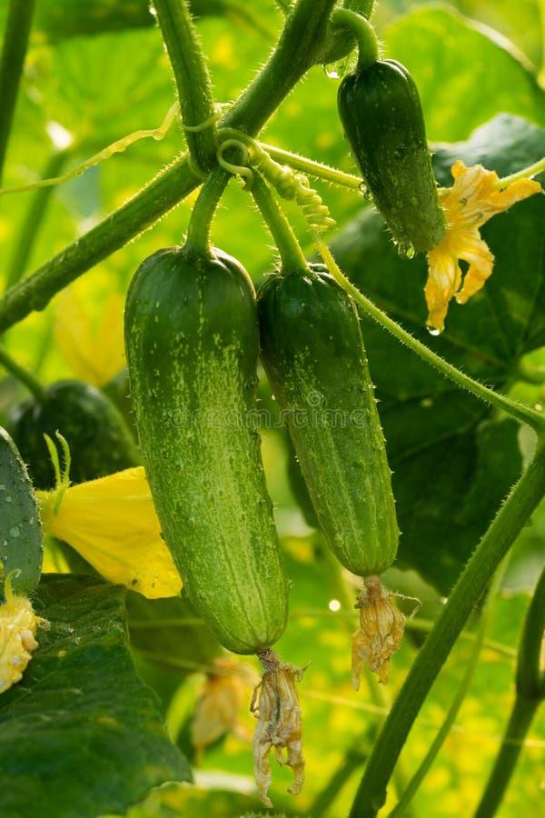 Plantation de concombre image stock. Image du concombre ...