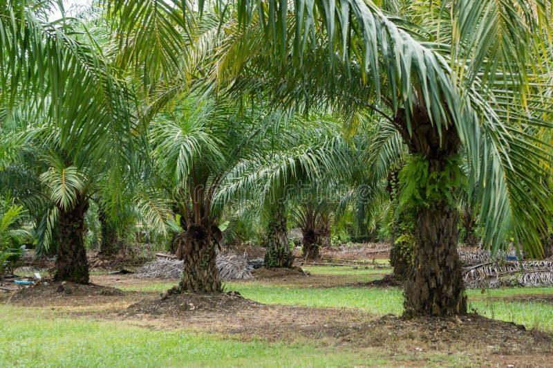 Plantation de date en Asie du Sud-Est image libre de droits