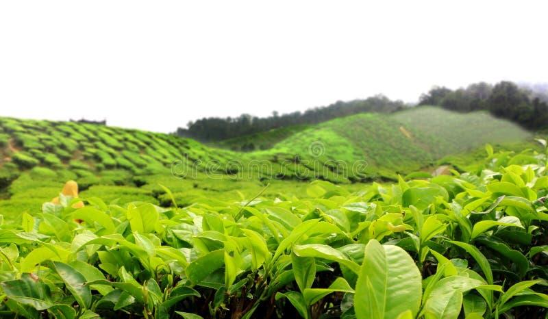 Plantation de ferme de thé en Cameron Highland Malaysia photos stock