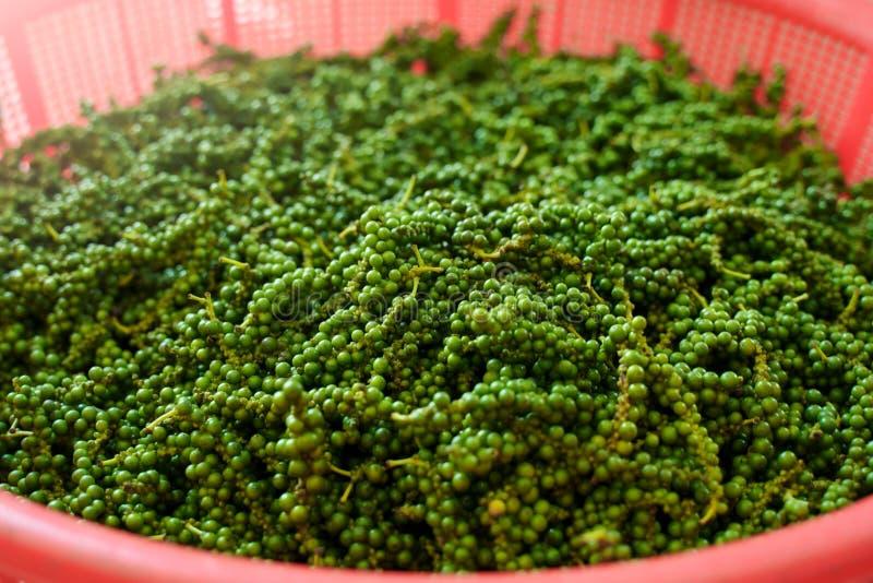 Plantation de ferme de poivre Grain de poivre noir cru vert photos libres de droits