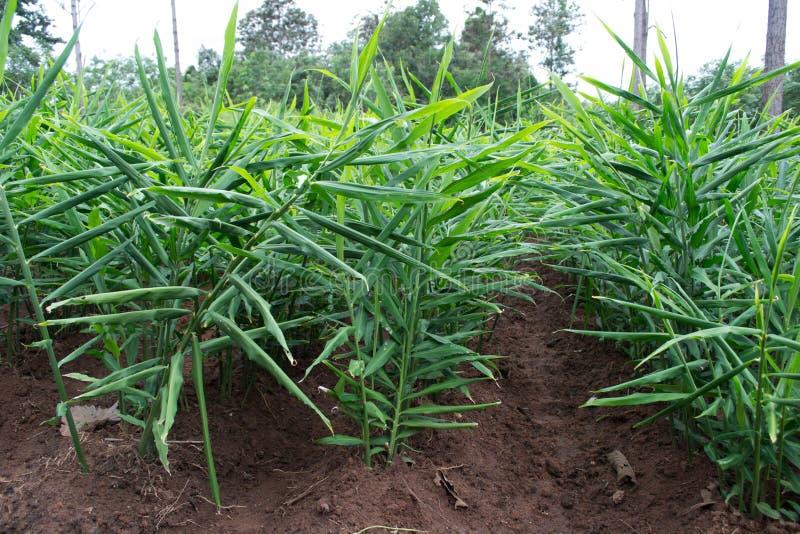 Plantation de gingembre photos stock