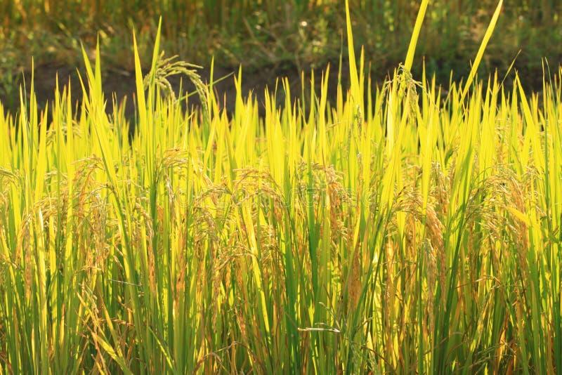 Download Plantation De Gisement De Riz Cultivant Dans Le Lever De Soleil De Matin Photo stock - Image du perspective, paddy: 45368774
