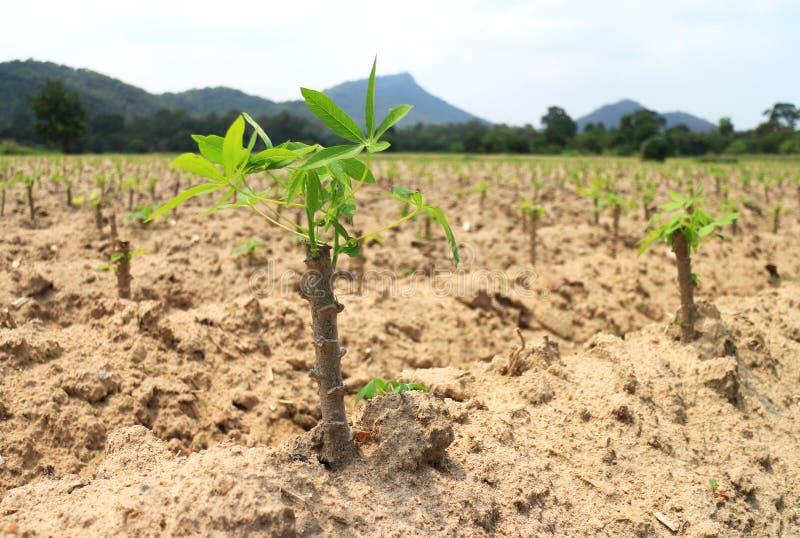 Plantation de jeune tapioca de manioc photographie stock libre de droits