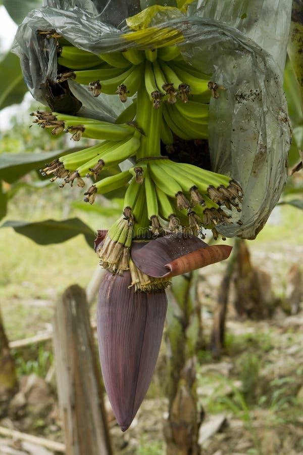 plantation de l'Equateur de banane images stock