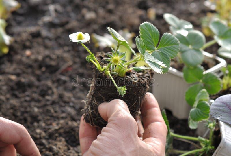 Plantation de la fraise photo stock