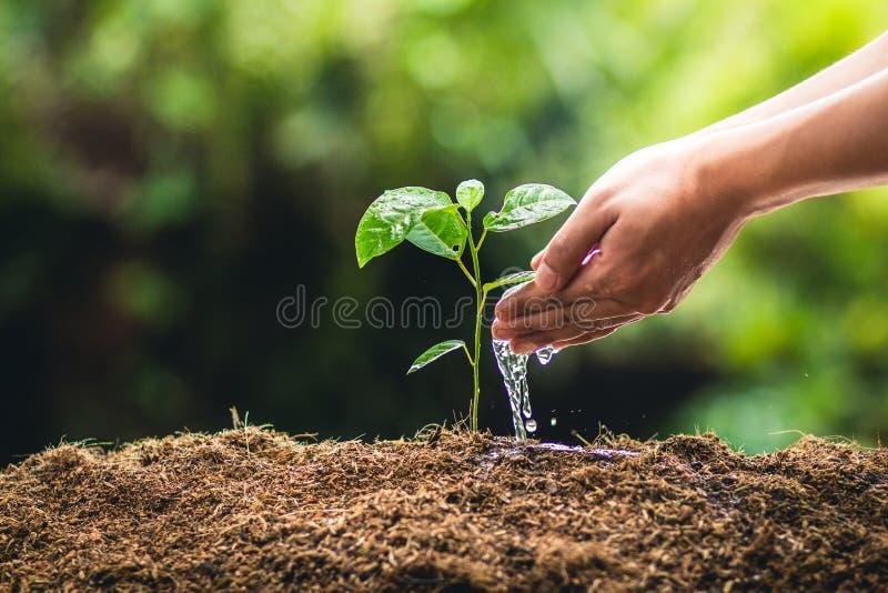 Plantation de la passiflore comestible et de la main de passiflore de croissance d'arbres arrosant à la lumière et à l'arrière-pl image stock