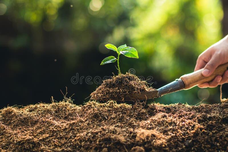 Plantation de la passiflore comestible et de la main de passiflore de croissance d'arbres arrosant à la lumière et à l'arrière-pl image libre de droits