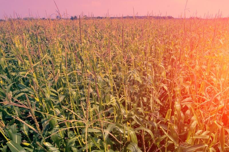 Plantation de maïs en Europe de l'Est Buissons de maïs dans la maturité de laiteux-cire de période images libres de droits