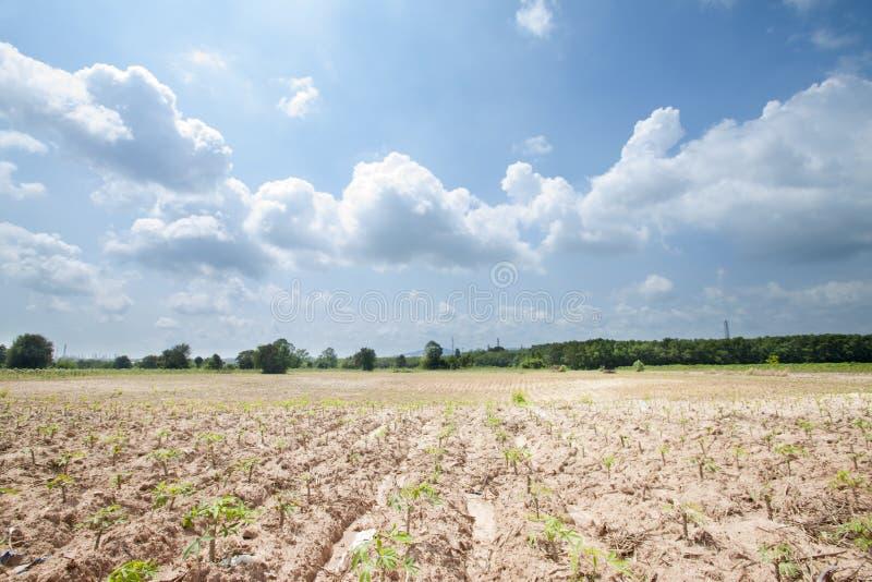 Plantation de manioc images libres de droits