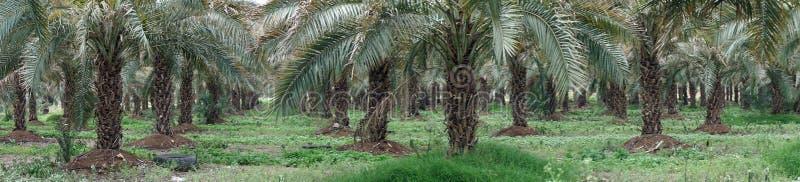 Plantation de palmier image libre de droits