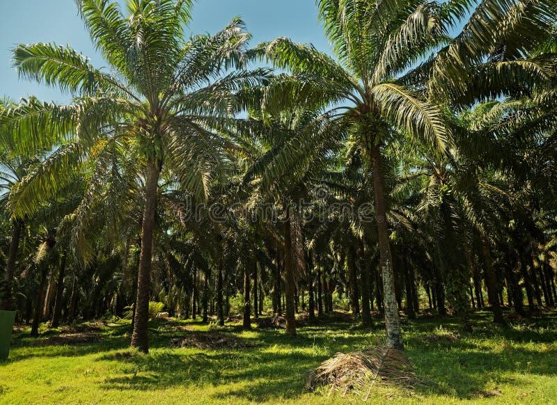Plantation de palmier d'huile en Costa Rica images stock