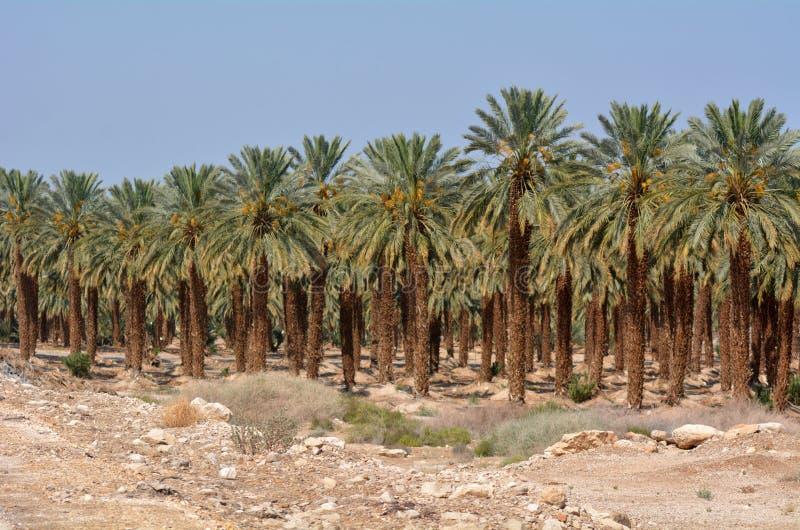 Plantation de palmier dattier - mer morte, Israël image libre de droits