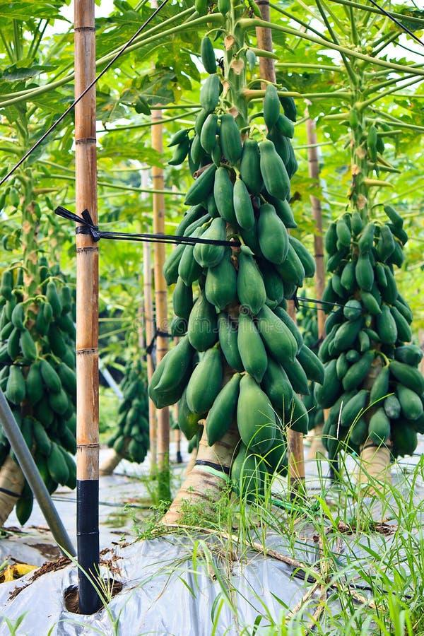 Plantation de papaye de modernisation de Taiwan photographie stock libre de droits