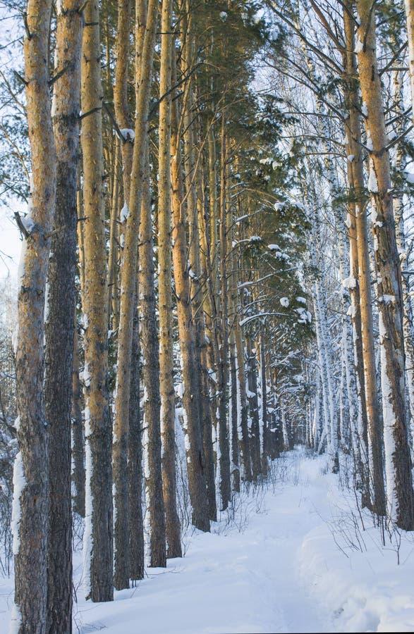 Plantation de pin en hiver photos stock