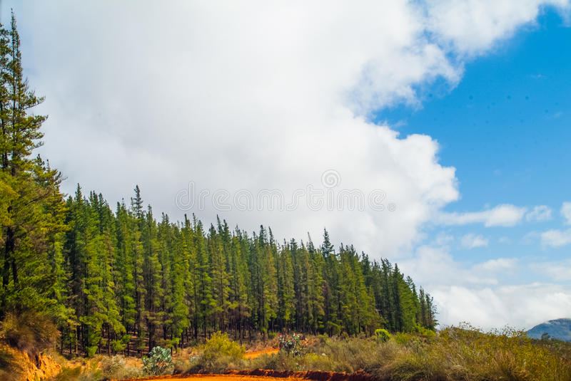 Plantation de pin, province du Cap-Occidental, Afrique du Sud photo stock