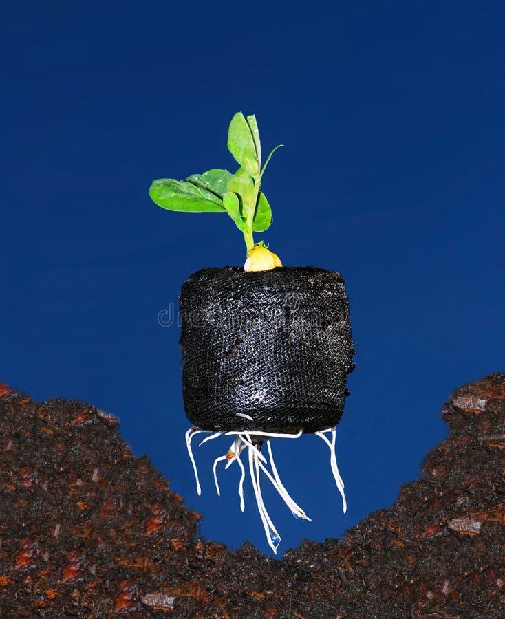 plantation de plante d 39 haricot images libres de droits image 4687359. Black Bedroom Furniture Sets. Home Design Ideas