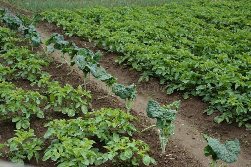 Plantation de pommes de terre de ferme biologique portugaise image libre de droits