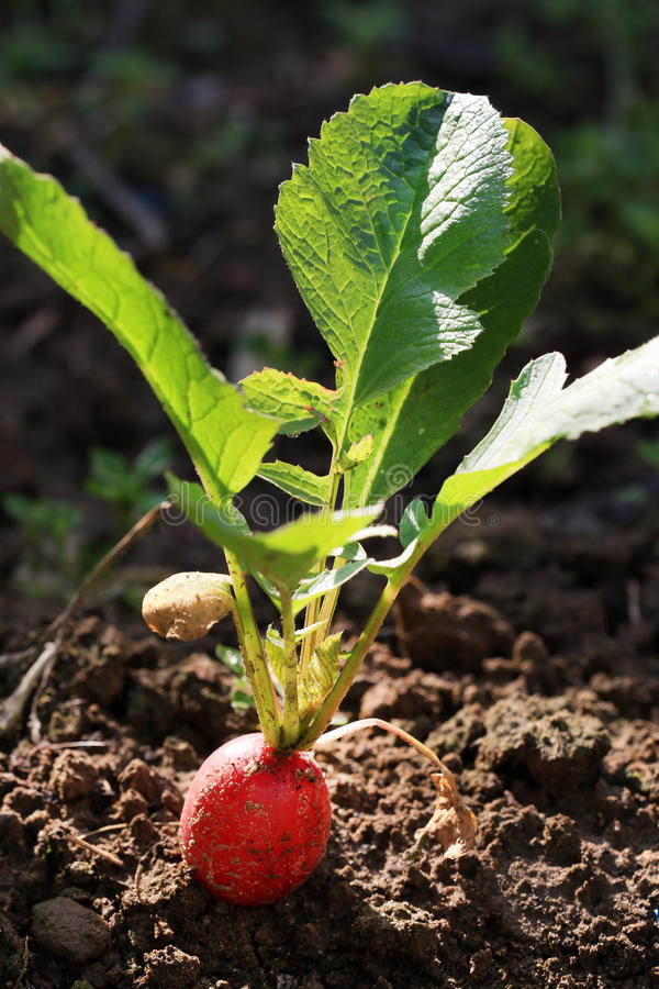 Plantation de radis de salade images stock