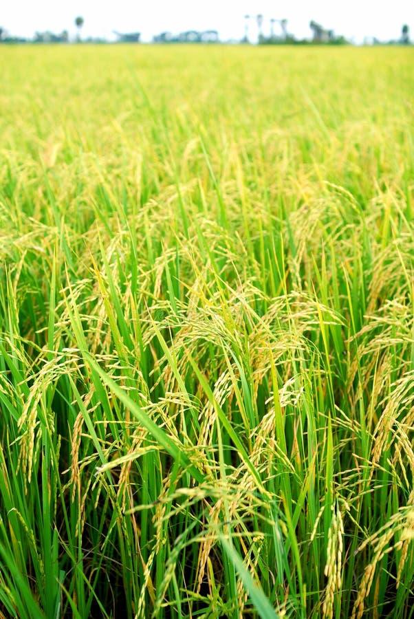Plantation de riz photos stock