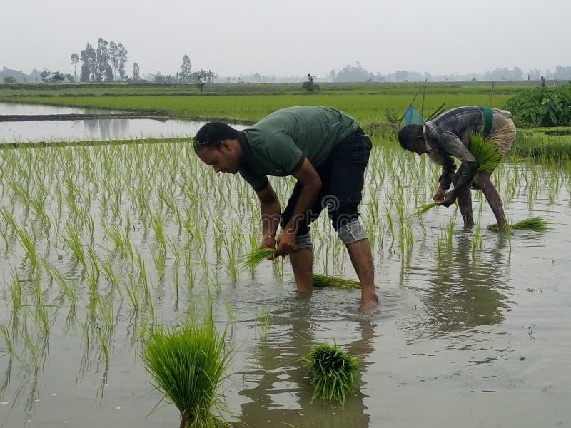 Plantation de riz photos libres de droits