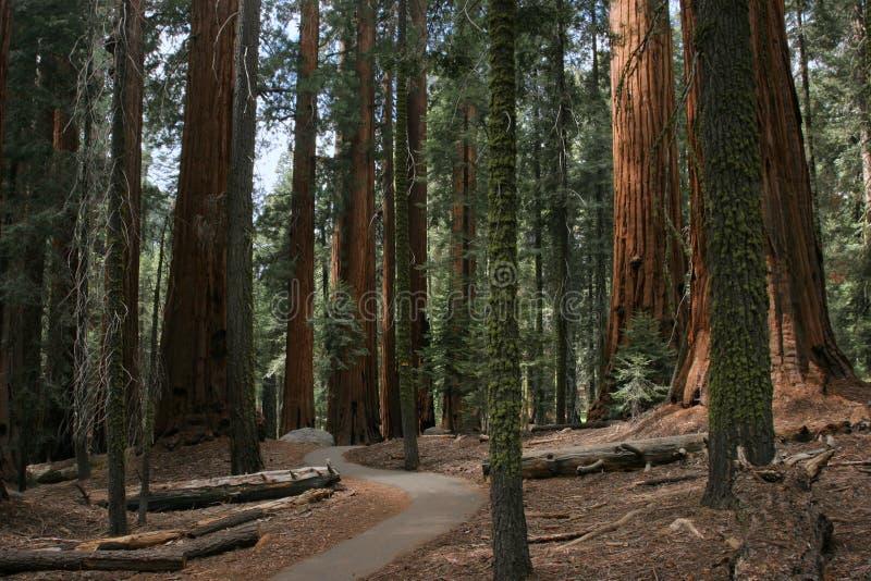 Plantation de séquoia image libre de droits