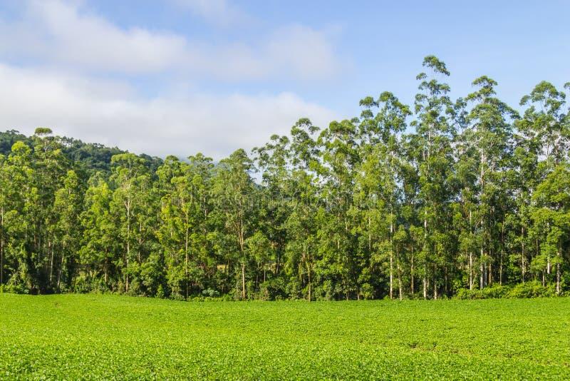 Plantation de soja et forêt d'eucalyptus image stock