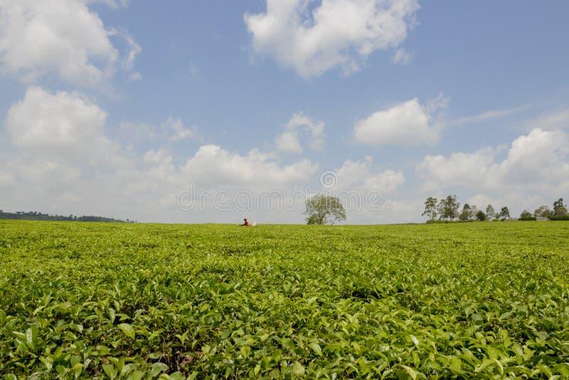 Plantation de té en Ouganda image libre de droits