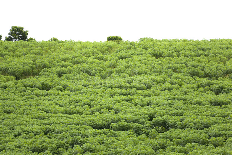 Plantation de tapioca images libres de droits